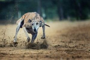 Image of Racing Dog